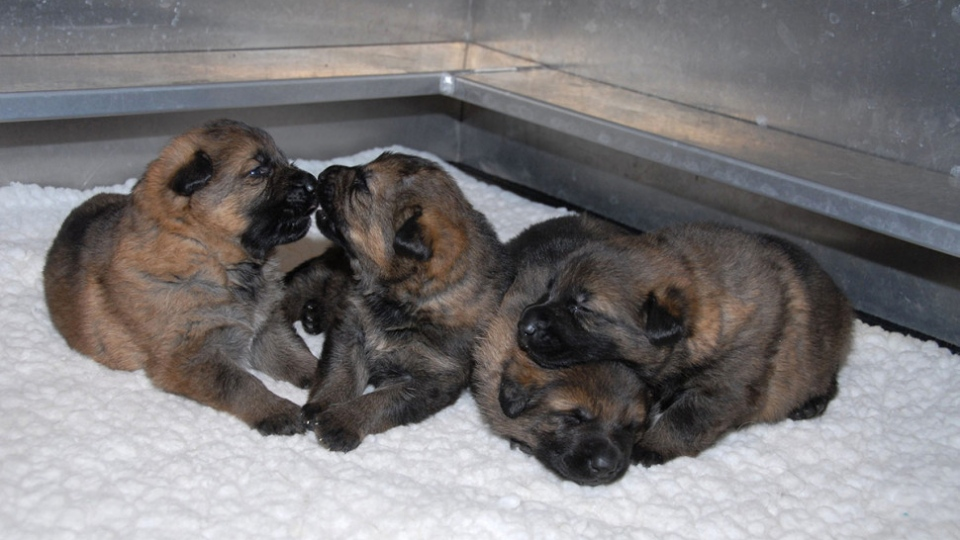 Name these puppies: RCMP asks kids to name future police dogs | CTV News
