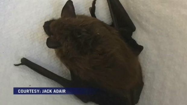 A Sussex man had to be treated for rabies after being bitten by this bat that was in his basement.