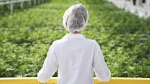 An Aphria worker looks out over a crop of marijuana in this undated handout image. (THE CANADIAN PRESS / Aphria)