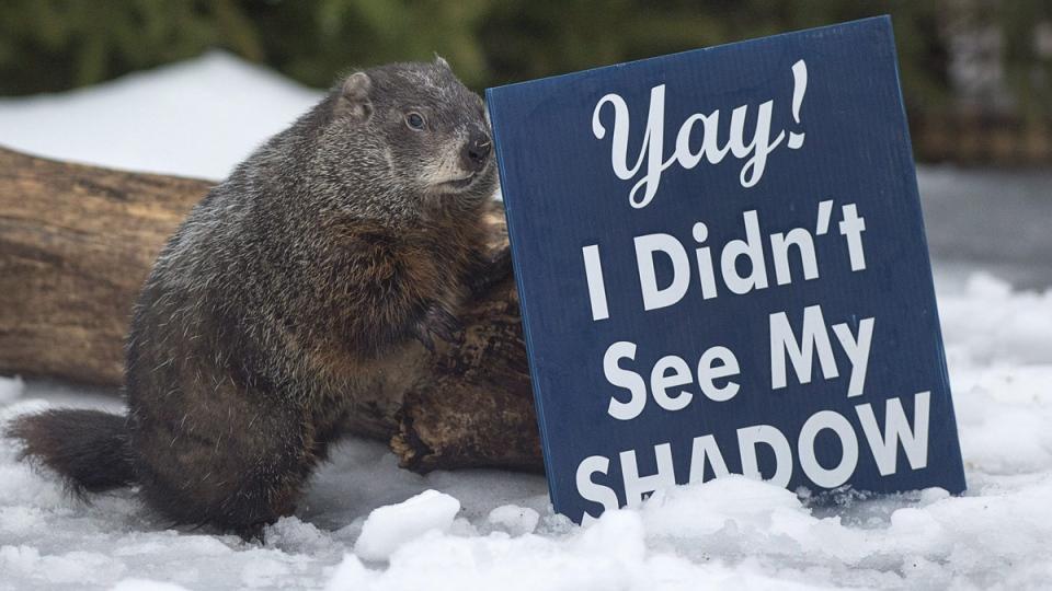 Shubenacadie Sam at the wildlife park in Shubenacadie, N.S. on Feb. 2, 2018. (Andrew Vaughan / THE CANADIAN PRESS)
