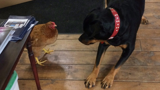 Charlee the Rottweiler and Penny the chicken