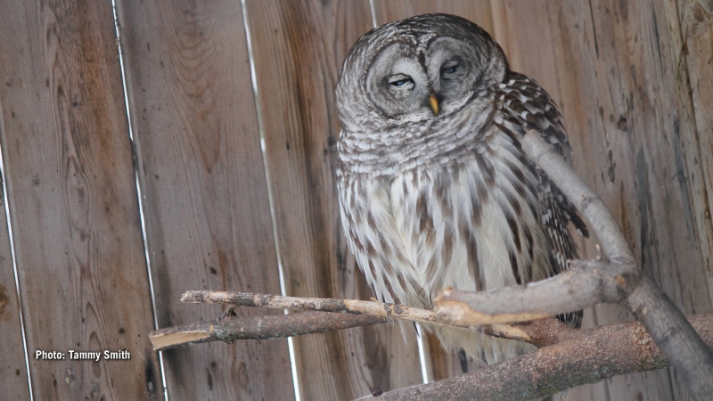 Barred Owl sleeping the day away. (Tammy Smith/CTV Viewer)
