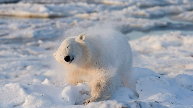 A polar bear in Manitoba