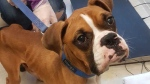Cedric the boxer is shown in an image provided by the BC SPCA.