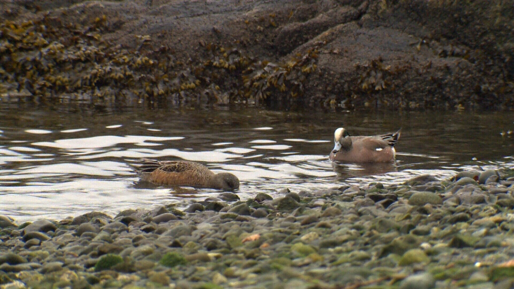 ducks victoria inner harbour animals pollution