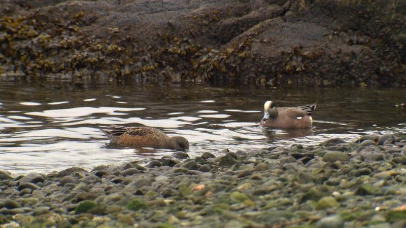 Ducks are seen close to shore in Victoria's Inner Harbour. Feb. 7, 2018. (CTV Vancouver Island)