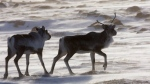 Wild caribou roam the tundra near The Meadowbank Gold Mine located in the Nunavut Territory of Canada on Wednesday, March 25, 2009. (THE CANADIAN PRESS/Nathan Denette)