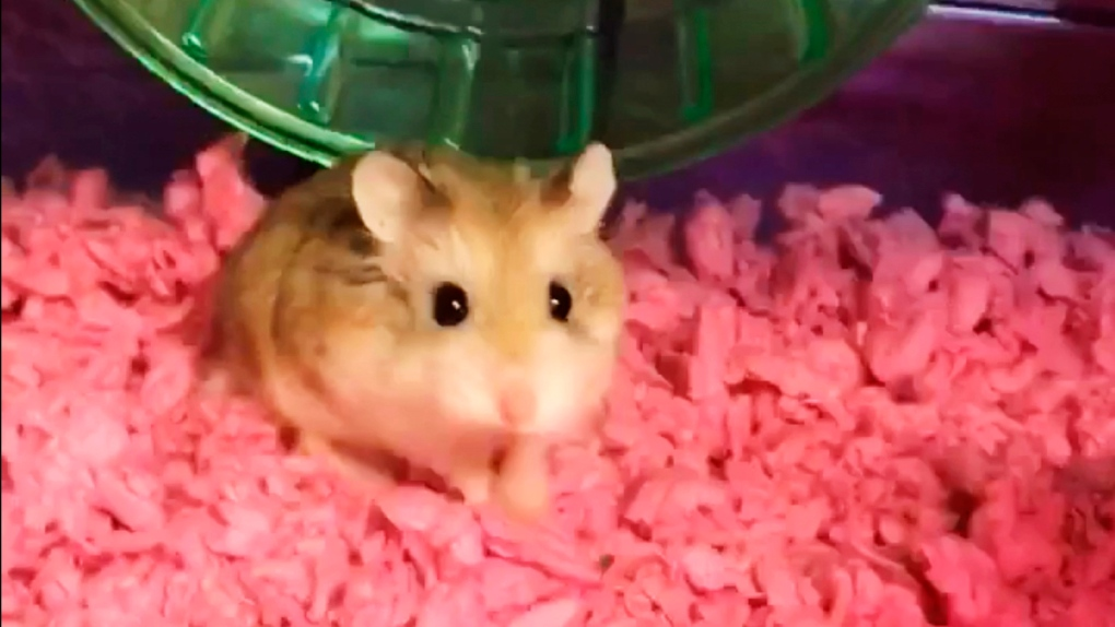 Pebbles the hamster