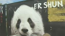 calgary, calgary zoo, panda, paddock, enclosure, a