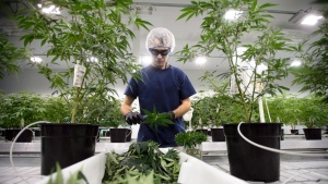 Workers produce medical marijuana at Canopy Growth Corporation's Tweed facility in Smiths Falls, Ont., on February 12, 2018. (Sean Kilpatrick/THE CANADIAN PRESS)