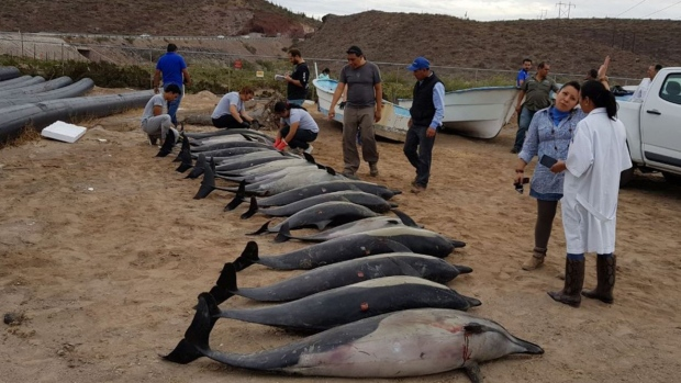 Beached dolphins