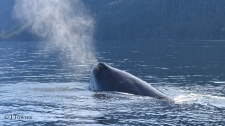johnstone strait sperm whale sighting