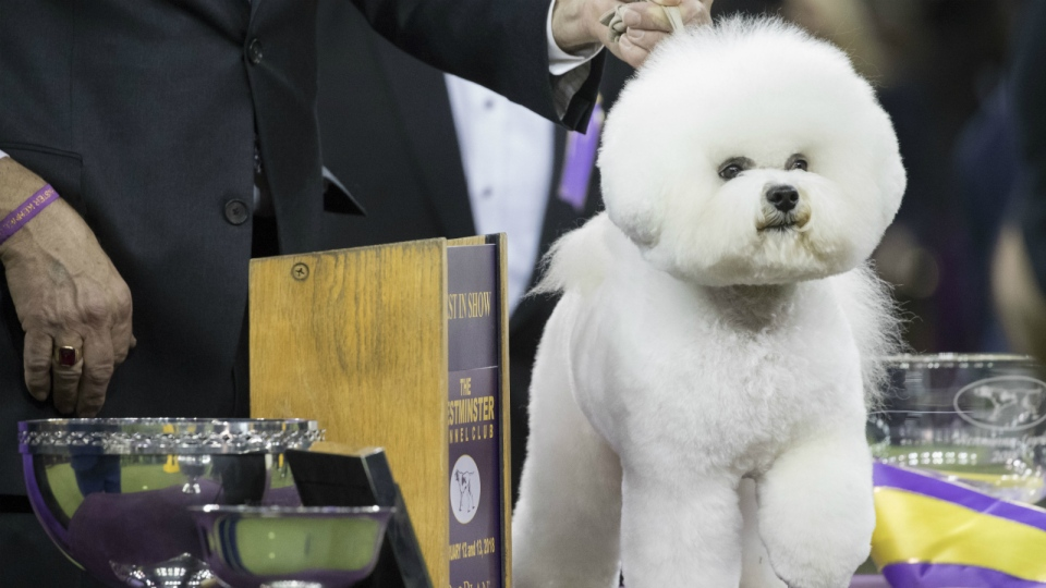 Flynn, a bichon frise, poses for photos after winning best in show during the 142nd Westminster Kennel Club Dog Show at Madison Square Garden in New York on Wednesday, Feb. 14, 2018. (AP Photo/Mary Altaffer)