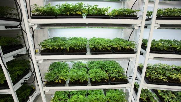 Medical marijuana at Canopy Growth