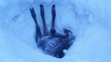 A moose calf ended up stuck on its back in a snowbank outside Vanderhoof, B.C. last week. (Wayne Rowley)