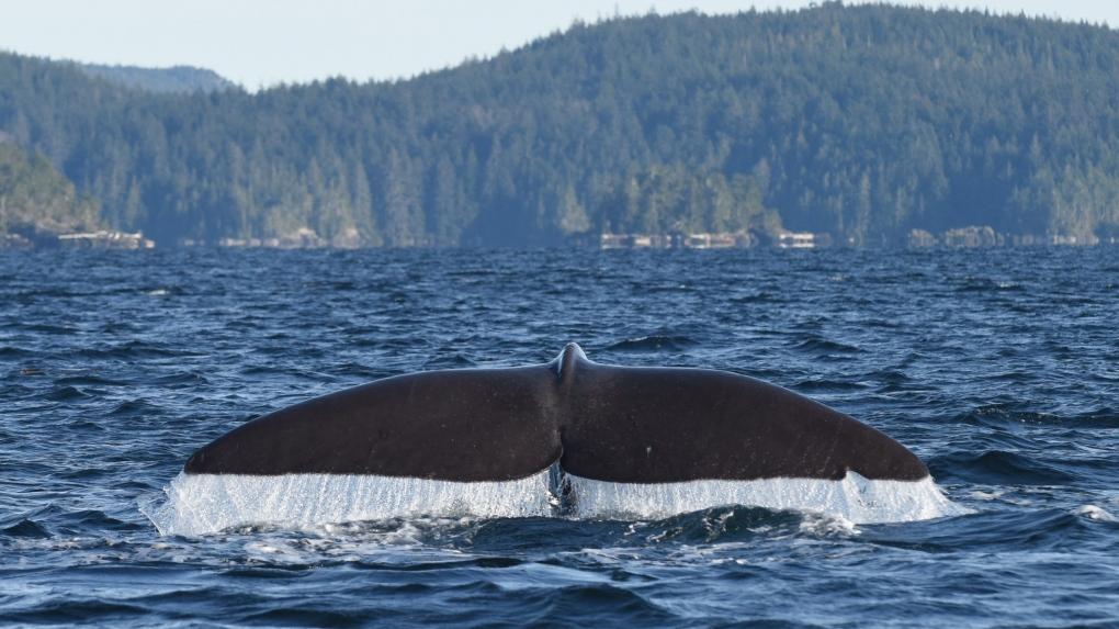 A sperm whale near Vancouver Island