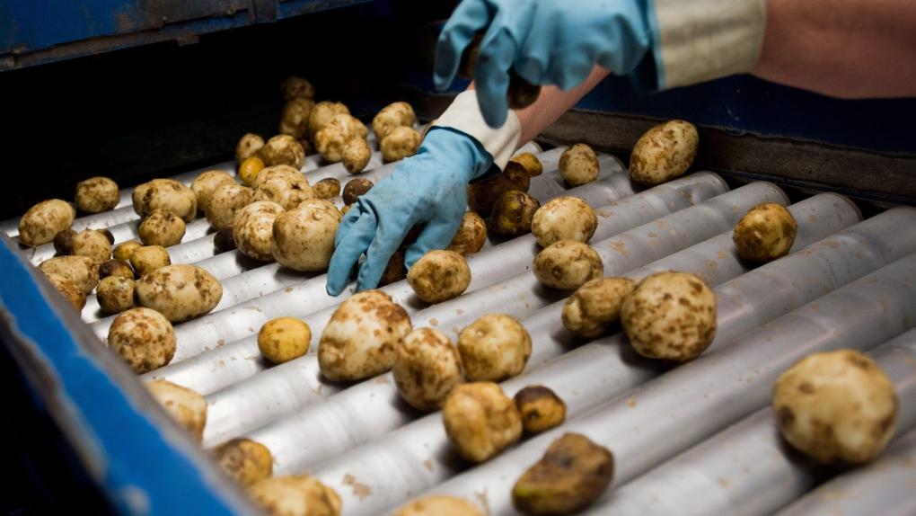 Simplot potato plant expanding