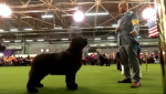 Miss Andie, a Newfoundland dog from B.C., won Best in Breed at the Westminster Kennel Club Dog Show in New York.