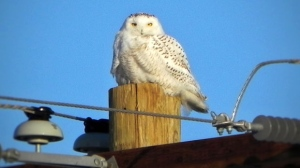 Looking for Snowy Owls all winter and finally saw one today. Photo by Patricia Garrod.