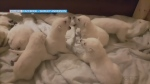 White German Shepherd puppies just under 3 wks old