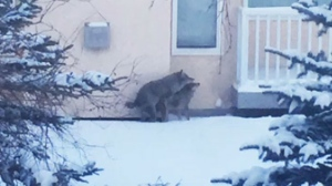 Coyotes share a moment in the yard of an Edgemont home (supplied)
