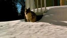 Coyote under deck in Edgemont