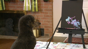 Pawcasso Sapphire eyes one of her masterpieces in Stittsville, Ont. (CTV Ottawa)