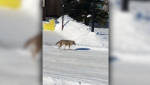 Maureen Morrison says a mating pair of coyotes are denning under the deck of the home next to hers in Edgemont, Alta.