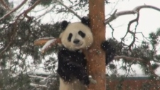 CTV News Channel: Pandas frolic in the snow