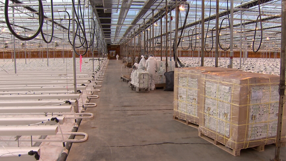 A view inside a network of greenhouses in Langley, B.C. that's being touted as the largest licensed cannabis production facility in the world. (CTV Vancouver)