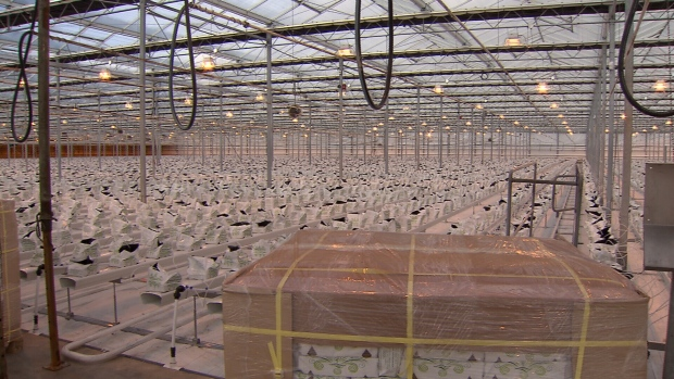 Until recently, these massive greenhouses in Langley, B.C. grew bell peppers. Now, they've been converted to grow marijuana.