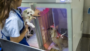 A French bulldog named Bao sits inside a booth that provides oxygen during a spa treatment session at a pet groomers in Hong Kong, (ISAAC LAWRENCE / AFP)