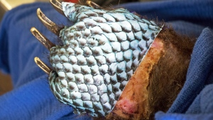 FILE - This Jan. 2018, file photo provided by the California Department of Fish and Wildlife shows the badly burned paw of a bear, injured in a wildfire, wrapped in fish skin - tilapia - during treatment at the University of California, Davis Veterinary Medical Teaching Hospital in Davis, Calif. (California Department of Fish and Wildlife via AP, File)