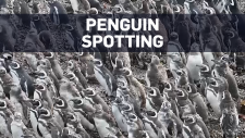Tourists flock to Argentina to spot penguins
