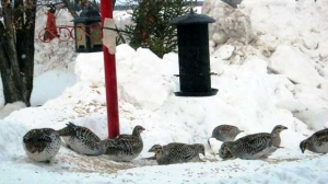Prairie Chickens coming to our bird feeder every morning. Photo by Terill Adamik.