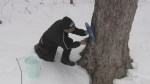 The annual tapping of the maple tree has started