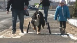 Mac, an eight-year-old paralyzed Bernese mountain dog in Cape Breton, is up on his feet again thanks to a specially made wheelchair.