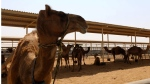 Camels are seen at a farm specialixing in producing camel milk in Dubai (Marwan Naamani / AFP)