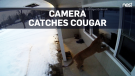 Caught on cam: Cougar peers into home