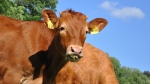 A red Limousin cattle is pictured in this undated file photo. (Pixabay)