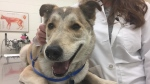 Bruce smiles for the camera during a check-up at the Western College of Veterinarian Medicine in Saskatoon on Wednesday, Feb. 21, 2018. (Ashley Field/CTV Saskatoon)