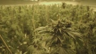 Police said they seized 463 pot plants in different growth stages. (File image)