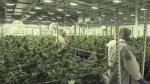 Local producer ready for marijuana legalization