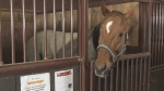 Rescue farm nurses abused horses back to health