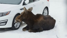 Muenster moose escorted out of village