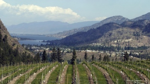 Vines at a vineyard overlooking Skaha Lake in the Okanagan Valley Tuesday May 18, 2004. (Jacques Boissinot / THE CANADIAN PRESS)