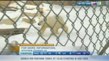 The Assiniboine Park Zoo has new polar bear cubs.  See why International Polar Bear Day is so important.