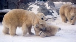 Polar Bears (File Photo)