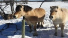 Lovely miniature horses by St. Pierre-Jolys. Photo by Marlene Ferris.
