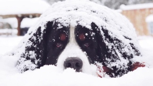 B.C.&#39;s Lower Mainland was covered in a fluffy white blanket Friday as a snowstorm blew through the area. <br><br>  Weber the Bernese mountain dog poses in the snow in North Vancouver, Feb. 23, 2018. (Instagram / @webers.world)